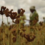 Grain Revolution: Finger Millet and Livelihood Transformation in Rural Zimbabwe