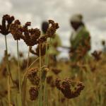 Grain Revolution: Finger Millet and Livelihood Transformation in Rural Zimbabwe